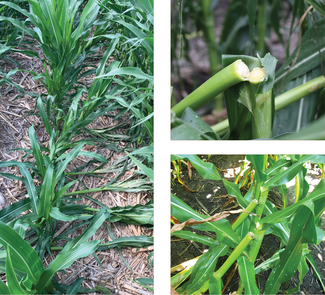 Figure 1. Greensnap injury in corn.